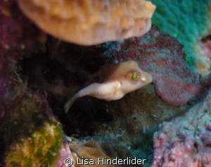 Post larval Sharp nose Puffer looking out from his hiding... by Lisa Hinderlider 